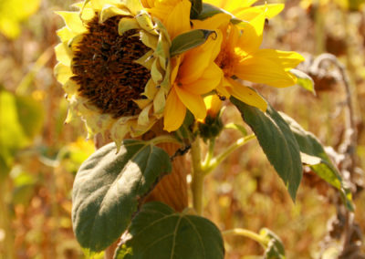 sunflowers at St Remy.